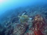 アオウミガメ180221_R.jpg