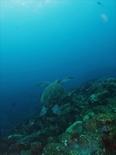 アオウミガメ190801b_R.jpg