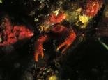 アナモリチュウコシオリエビ160626_R.jpg
